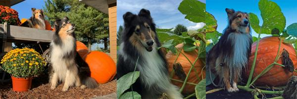 pumpkindogs